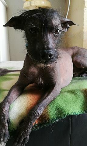 Caramel chien chinois à crête à l'adoption Scooby France  Adopté  Carame12