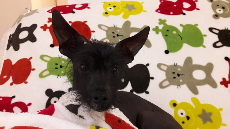 Caramel chien chinois à crête à l'adoption Scooby France  Adopté  Carame20