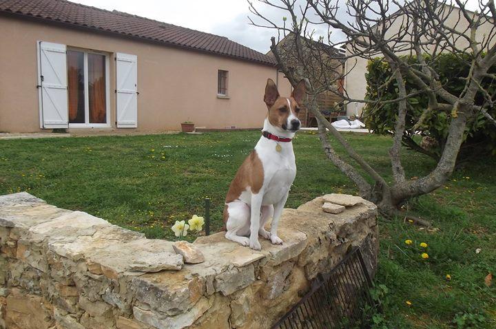 Coki petit podenco 18 mois Coki_110
