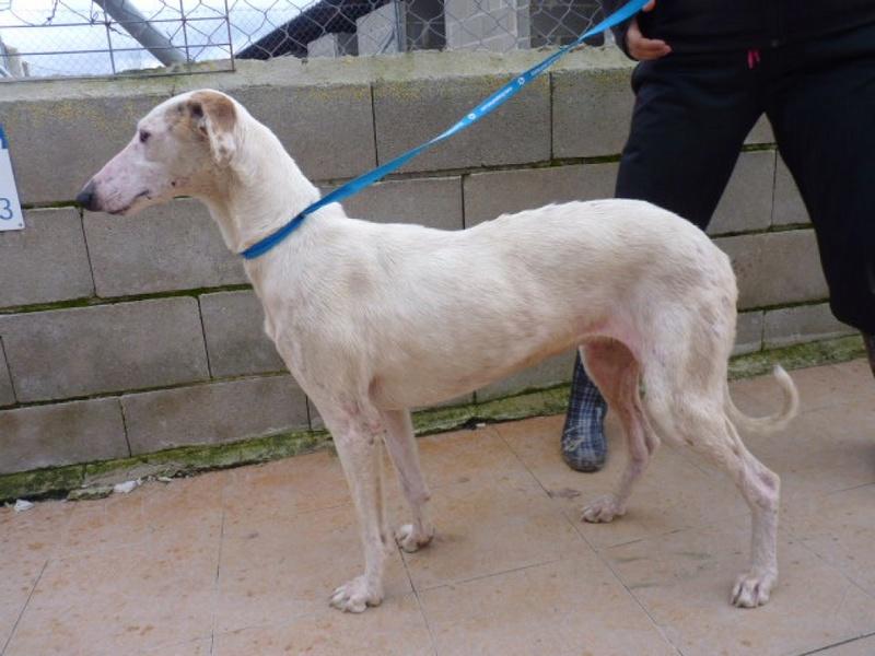 Debby adorable galga blanche tendre et câline Adoptée  Debby_10