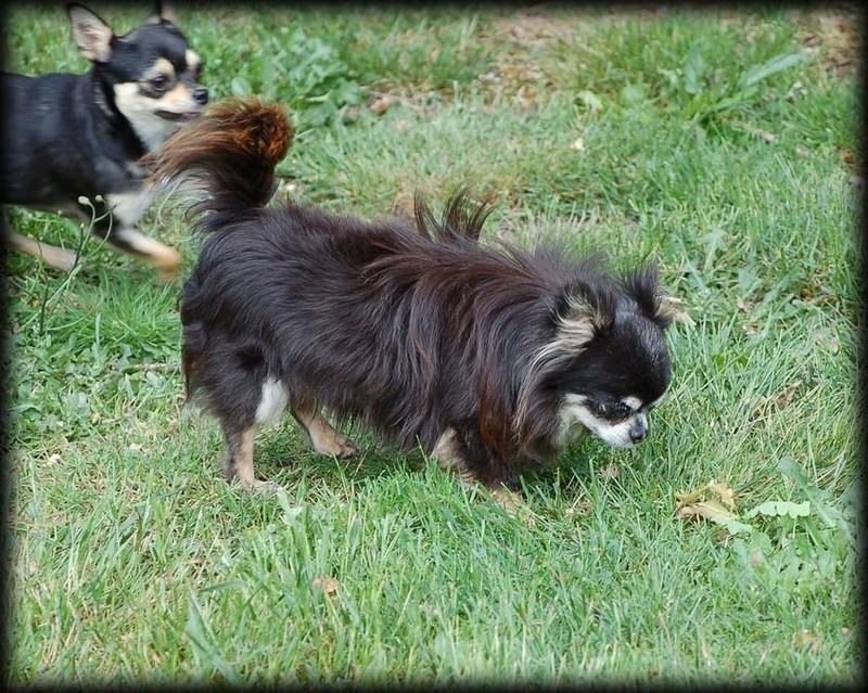 3 petits chihuahuas à l'adoption  Figaro10
