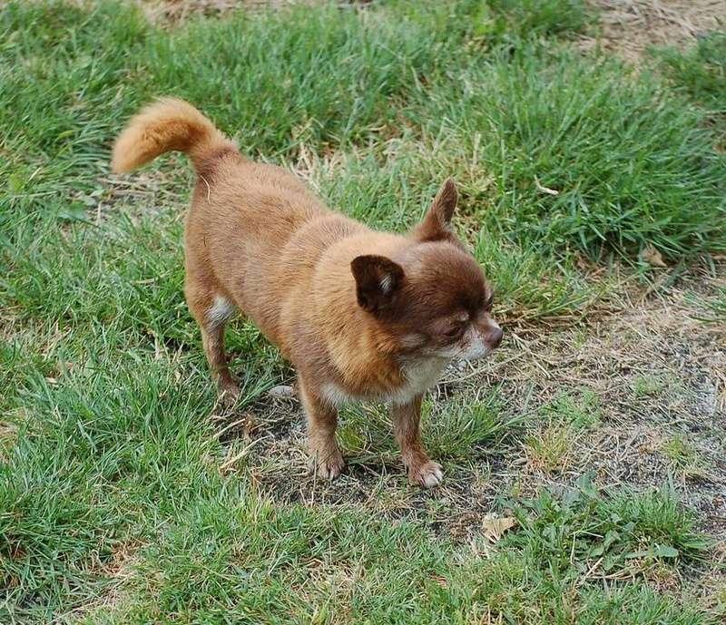3 petits chihuahuas à l'adoption  Guizmo10