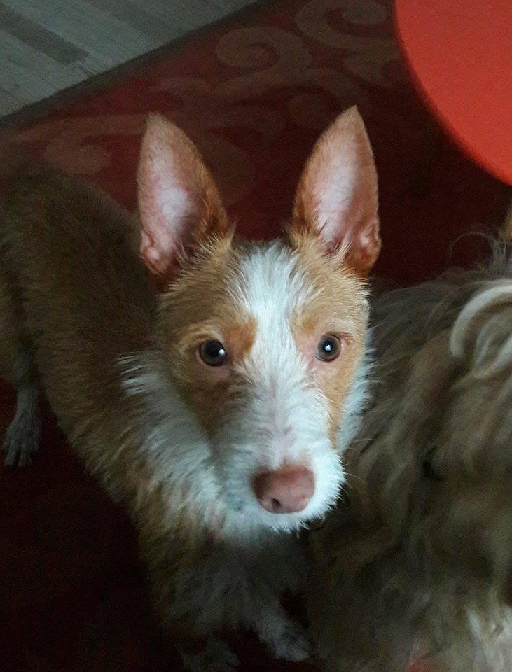 MELOSA petite podenca barbuda,un vrai bonheur ! Scooby France Adoptée   - Page 2 Melosa10
