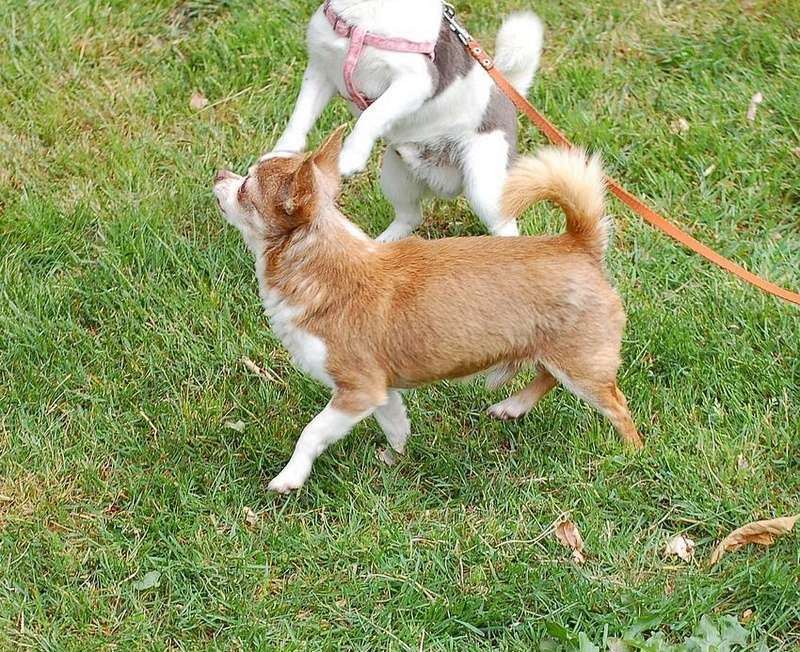 3 petits chihuahuas à l'adoption  Tino_110