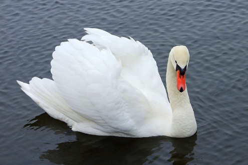 EL CISNE BLANCO Tom3e412