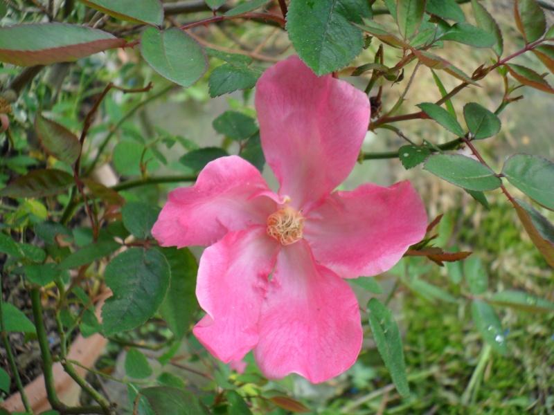 roses et autres Rosa_c12