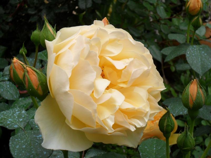 roses et autres Rosa_g10
