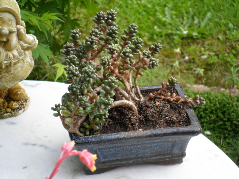 Boutures pour une bourse aux plantes Sedum_12