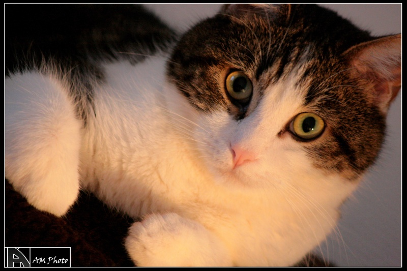Heiko beau chaton tigré et blanc - BEUVRAGES Copie_12