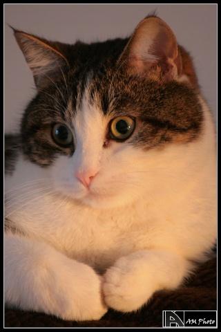 Heiko beau chaton tigré et blanc - BEUVRAGES Copie_14