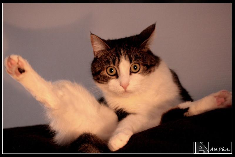 Heiko beau chaton tigré et blanc - BEUVRAGES Copie_15