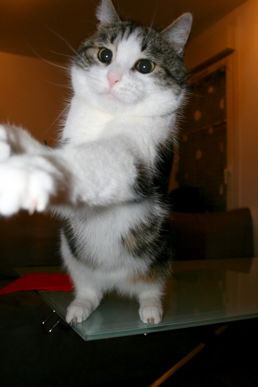 Heiko beau chaton tigré et blanc - BEUVRAGES Img_3814