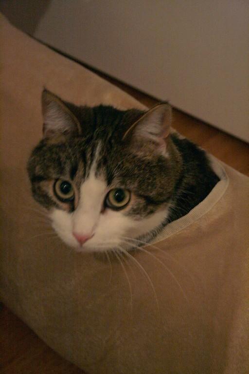 Heiko beau chaton tigré et blanc - BEUVRAGES Img_3815