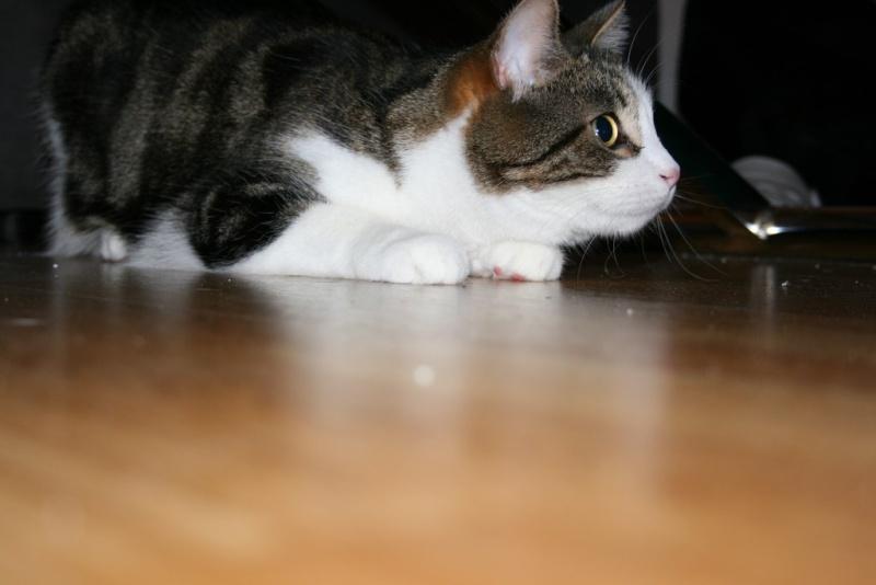 Heiko beau chaton tigré et blanc - BEUVRAGES Img_3817