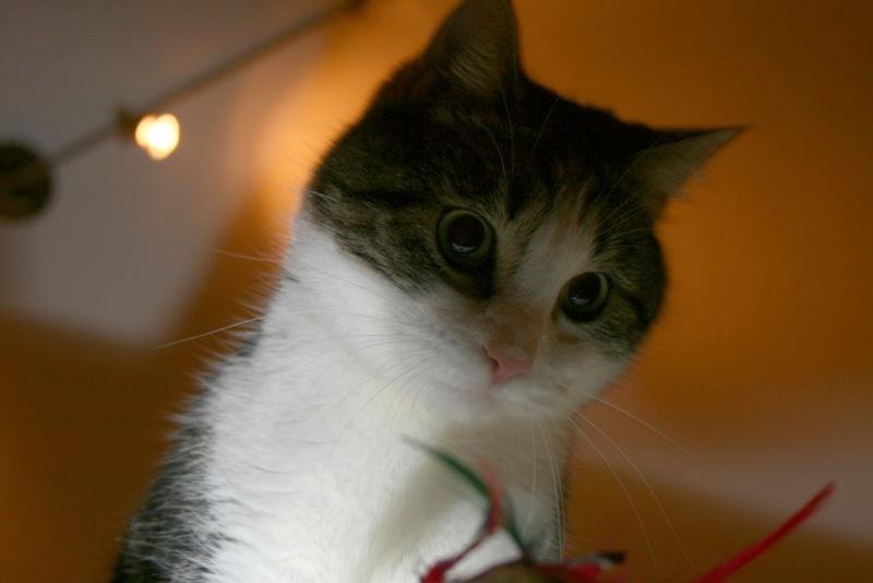 Heiko beau chaton tigré et blanc - BEUVRAGES Img_3821