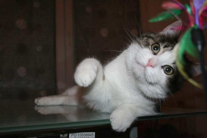 Heiko beau chaton tigré et blanc - BEUVRAGES Img_3823