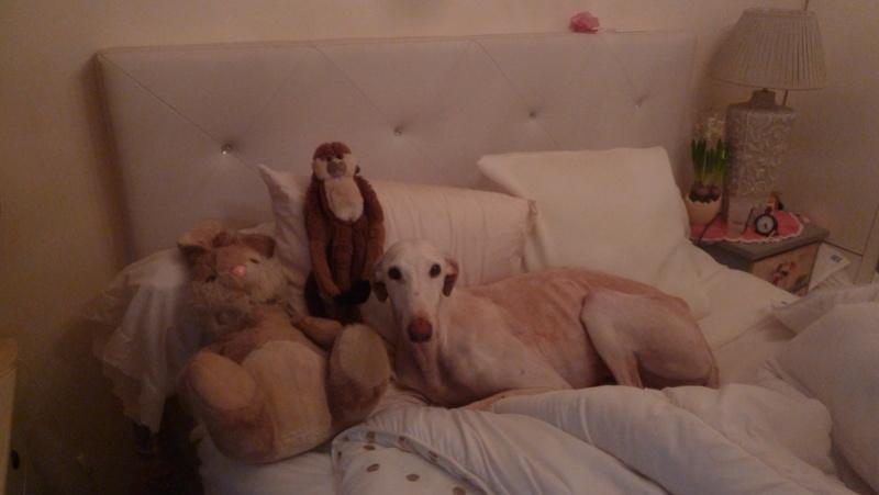 Suli galga creme Scooby Franceà l'adoption Adoptée  P1230810