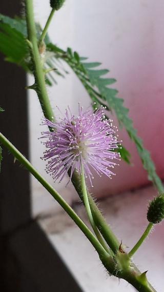évolution de mon mimosa pudica  20130811
