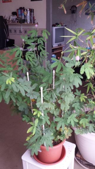 évolution de mon mimosa pudica  20131110