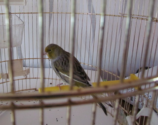 canari nouveau départ Oiseau14