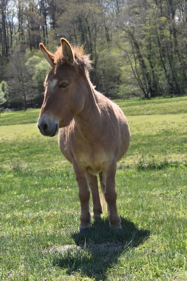 DIABLOTINE - ONC Mule née en 2014 - adoptée en juin 2016 par Amélie 31510