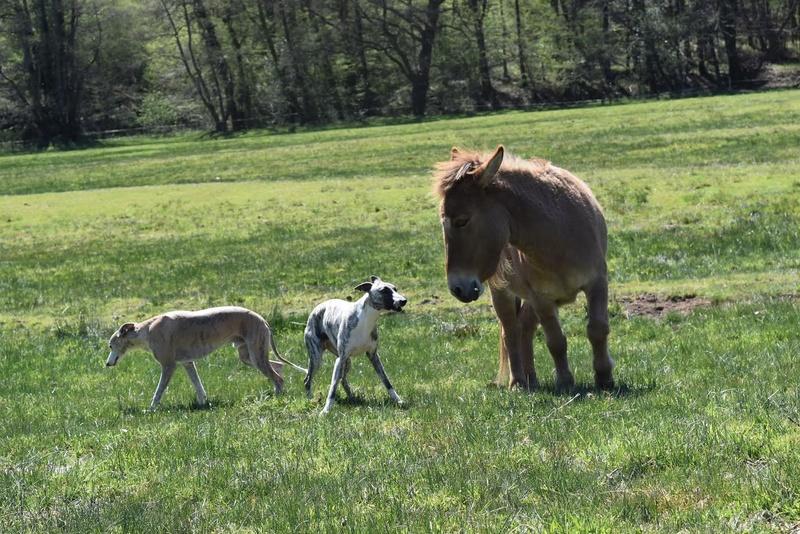 DIABLOTINE - ONC Mule née en 2014 - adoptée en juin 2016 par Amélie 41510
