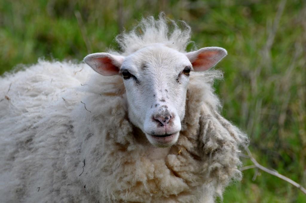 Brebis Agneau ou agnelle et bélier ! Dsc_0159