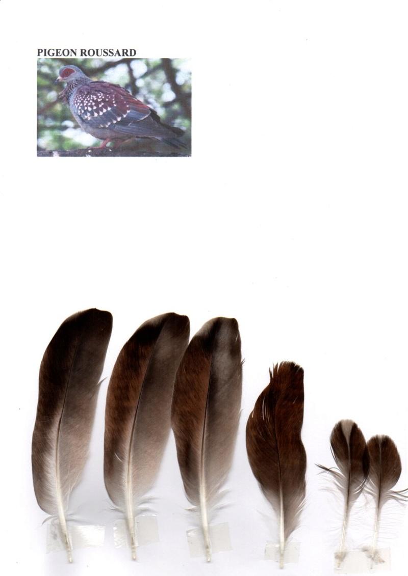 Pigeon roussard Img38010