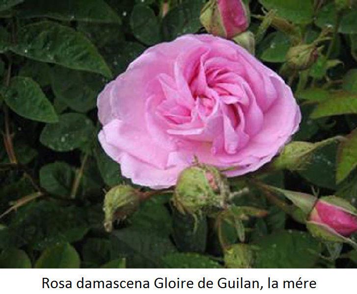 semis de rosier Rosa_d10