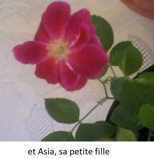 semis de rosier Sa_fil10