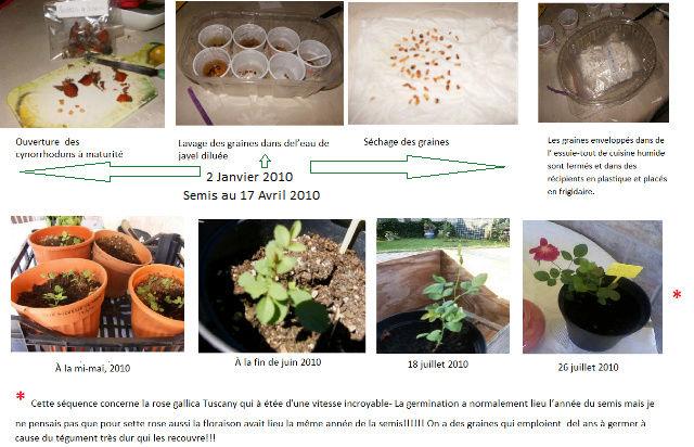 semis de rosier Semina10