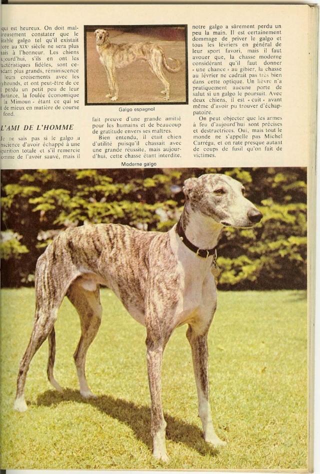 un galgo des années 1970 Chasse10