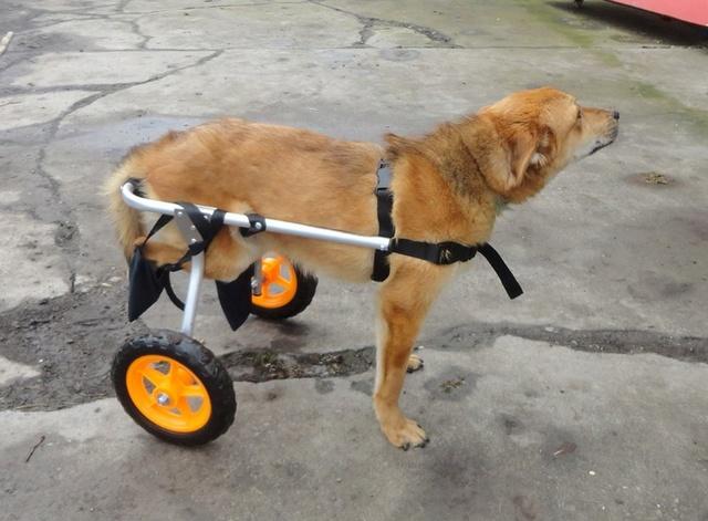 MIKI, M-X, né 2014, handicapé (Serbie/ex-Pension Gordana) En FA chez Aurore W. (Depart67) 10357810