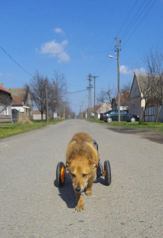 MIKI, M-X, né 2014, handicapé (SERBIE/Pension GORDANA) En FA chez Aurore W. (Depart67) 12718110