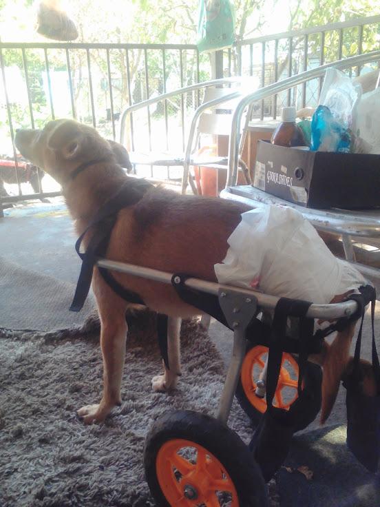 MIKI, M-X, né 2014, handicapé (SERBIE/Pension GORDANA) En FA chez Aurore W. (Depart67) Lenov154