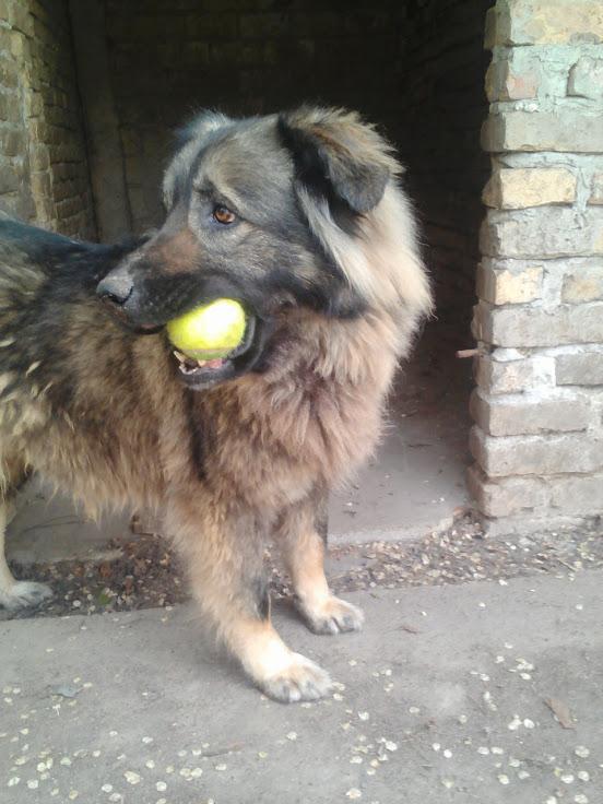 PAOLA - PAOLA F-X-Sharpla, taille grande, née 2013 (ex-GORDANA) (SERBIE refuge Bella) PRETE A VOYAGER Lenov168