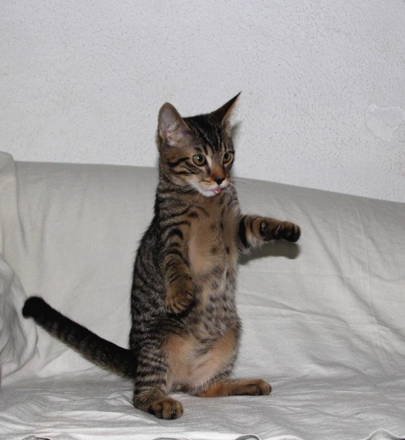 Cicco, mâle, ,07/13, tabby brown, IE 250268711031271 / Catégorie coup de pouce : il attend  depuis trop longtemps une famille 14033610