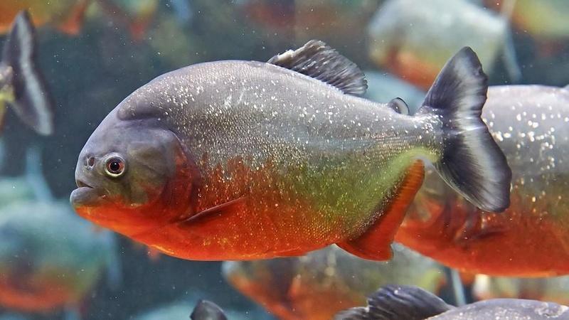 Mes Débuts dans l'aquariophilie; Juwel Trigon 190L - Page 2 Red-be10
