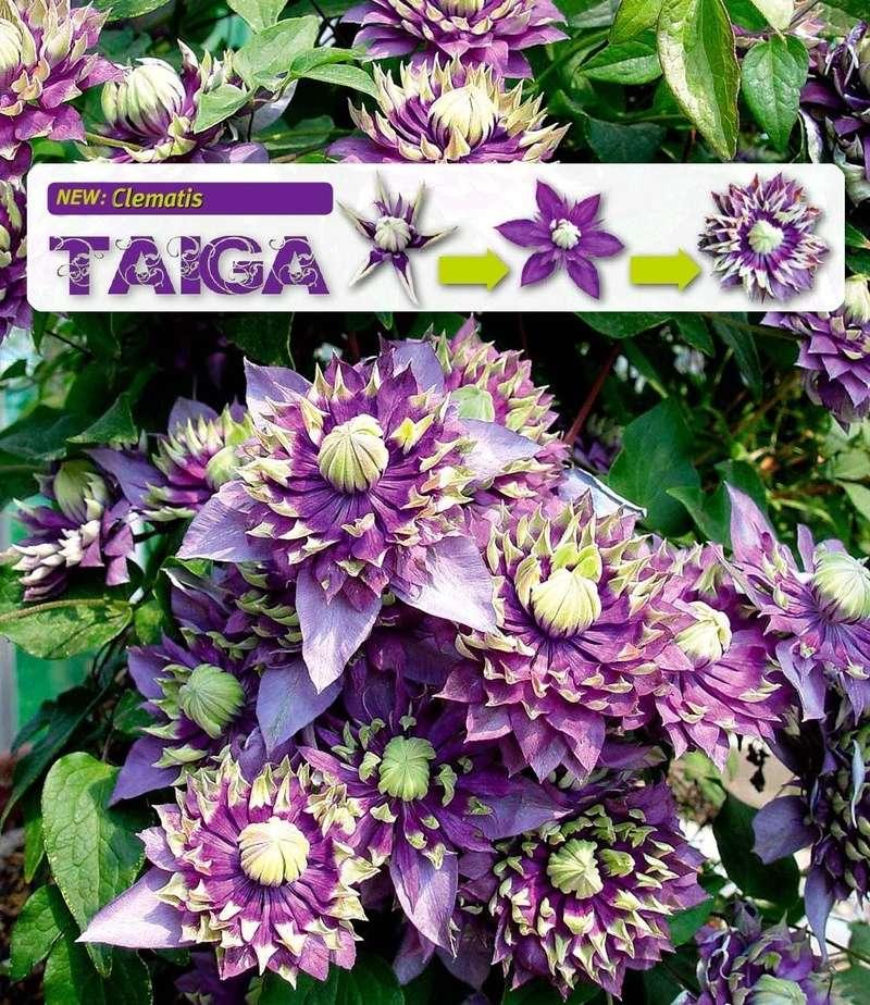 Clematis Taiga Image77