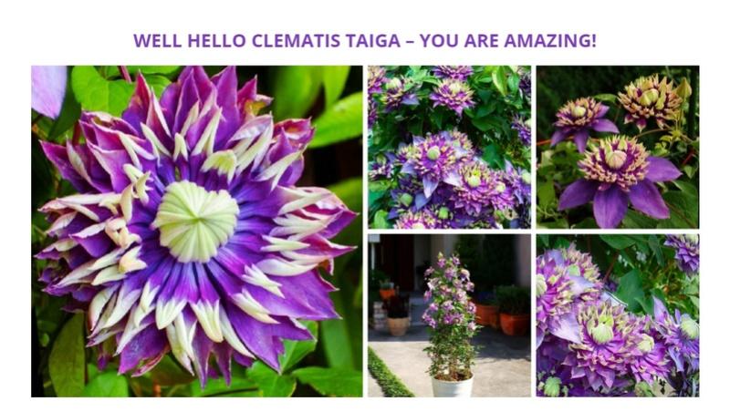 Clematis Taiga Image78