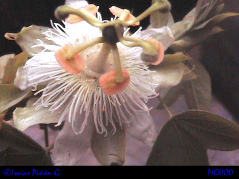 passiflora subpeltata??? Dcam0010
