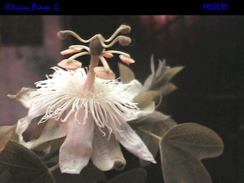 passiflora subpeltata??? Dcam0011