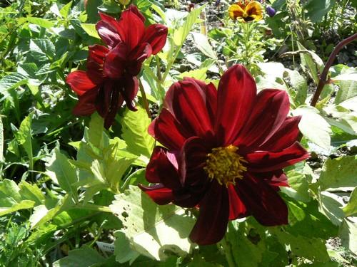 floraison aout P1130613