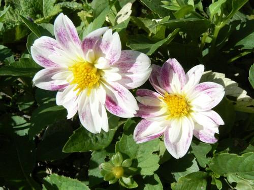 floraison aout P1130614