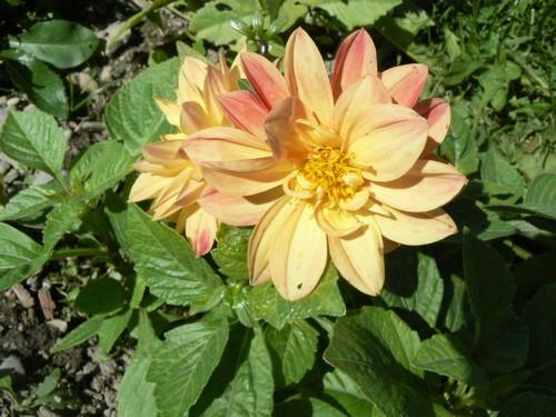 floraison aout P1130615