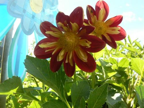floraison aout P1130617