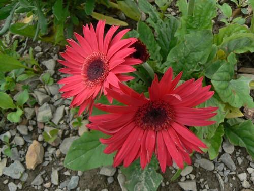 floraison aout P1130721