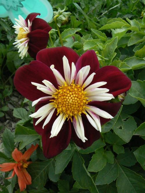 floraison aout P1140710