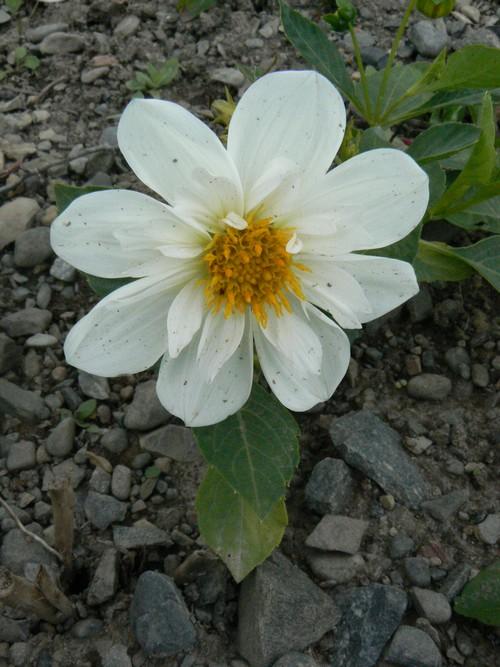 floraison aout P1140712