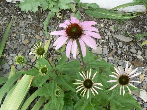 floraison aout P1140724